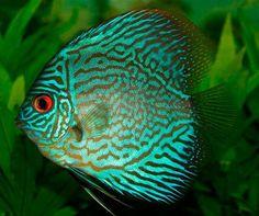 ¿Conoces los peces disco? ¿Sabes cómo introducirlos en tu acuario? Aquí te damos unos cuantos trucos :)