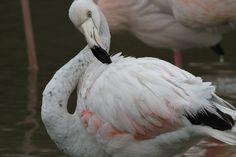 Young Flamingo #Young_Flamingo in Le Parc Ornithologique de Pont de Gau. #Bird_watching Birdwatching, Animals, Bridge, Animales, Animaux, Animal, Animais, Birds
