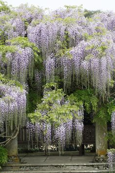 Wisteria Vines remind me of Grandmothers yard and my Childhood. She must have loved them too as she named one of her daughters Wisteria Amazing Gardens, Beautiful Gardens, Wisteria Tree, Wisteria Garden, Purple Wisteria, Flowering Trees, Dream Garden, Garden Inspiration, Beautiful Landscapes