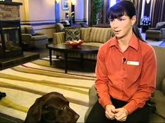 Cocoa the Chocolate Lab: A Welcome Ambassador at a Hotel. #cocoathechocolatelab #cocoa #bestwestern #labs #labradorretriever #chocolatelab