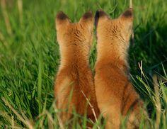 Red fox kits     . . . .   ღTrish W ~ http://www.pinterest.com/trishw/  . . . .  #Vulpes_vulpes #mytumblr