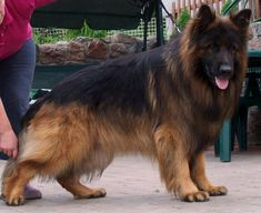 This is what you need dog training hacks! Open the link to learn more on this subject! Big Dogs, Large Dogs, Cute Dogs, Dogs And Puppies, Long Haired German Shepherd, German Shepherd Puppies, German Shepherds, Loyal Dogs, Dog Coats