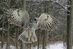 barred owl in flight | Flickr - Photo Sharing!