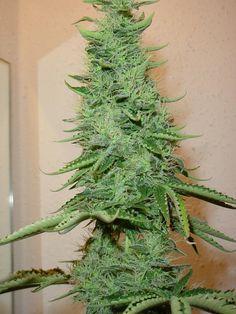Exotik Plant
