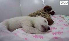 VIDEO El osito polar que ha conquistado Internet con su manera de dormir