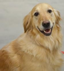This is Sophie and adult girl. She is an owner surrender. She is spayed, potty trained and current on vaccinations. Sophie is a sweet, friendly girl in good health looking for a forever home and is at Golden Retriever Rescue of Atlanta, GA.
