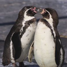 National Geographic Your Shot Booby Bird, Penguin Animals, Doraemon Wallpapers, National Geographic Photos, Pet Birds, Amazing Photography, Rock, Animaux, Skirt