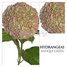 Antique Green Hydrangeas to make that romantic statement for your wedding! Green Hydrangea, Hydrangeas, Vintage Wedding Centerpieces, Rustic Wedding, Wedding Inspiration, Romantic, Antiques, Flowers, Plants
