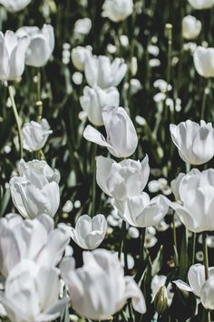 Who doesn't love a pretty floral iPhone X Wallpaper? Let's celebrate Spring together and get yourself a cute new iPhone Wallpaper today! White Tulips, Tulips Flowers, White Flowers, Beautiful Flowers, Tulips Images, Flower Images, Flower Photos, Backgrounds White, Wallpaper Backgrounds