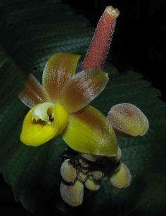 Orchid: Cyrtosia integra