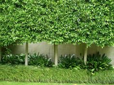 front garden Pleached Ficus Hilli is a better specimen for using pleached if you go down that path ben-more robust in terms of their water requirments Back Gardens, Small Gardens, Outdoor Gardens, Ficus Hedge, Hedge Trees, Privacy Trees, Landscape Design, Garden Design, Spring Landscape