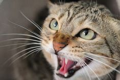 A cat may hiss at a person out of fear, insecurity, aggression, or pain. Knowing the reason why your cat is hissing at you can help solve the problem. Cat Behavior Problems, Dog Behavior, Crazy Cat Lady, Crazy Cats, Cat Biting, F2 Savannah Cat, Lots Of Cats, Cat Boarding, All About Cats