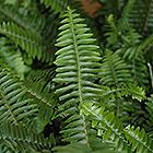 Australian Sword Fern (Nephrolepis obliterata) at Calloway's Nursery Thumbnail