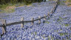 Texas Bluebonnets - little bit of Heaven