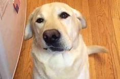 25 Reasons Why Labradors Are The Only Friends You'll Ever Need