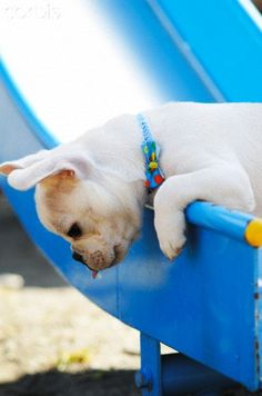 I dropped it ... French Bulldog Puppy
