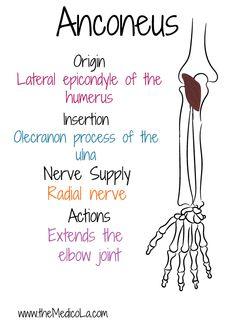All Upper Limb Muscles Notes & Drawings Upper Limb Anatomy, Anatomy Bones, Body Anatomy, Medicine Notes, Medicine Student, Lower Back Exercises, Shoulder Exercises, Ab Exercises, Muscles Of Upper Limb