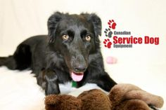 Canadian Service Dog Equipment Service Dogs, Free Shipping, Products, Beauty Products