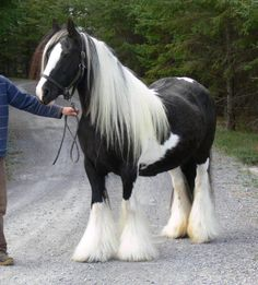 SRS Queenie, imported Gypsy Vanner Horse mare