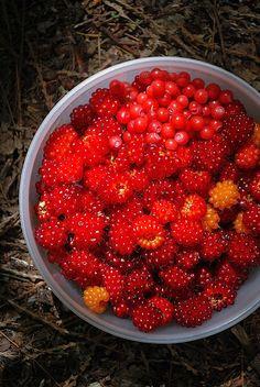 huckleberries and salmonberries, freshly picked