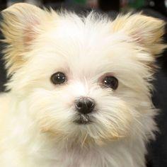 #morkie puppy! I want.
