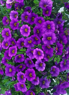 Million Bells Trailing Calibrachoa 'Trailing Blue'---not for the flowerbed per se but for the porch, in hanging baskets. Annual.