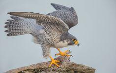 Adult Peregrine Falcon. NJ USA January 2016 by Ray Gilbert Peregrine Falcon, Birds Of Prey, Wildlife, January 2016, Nature, Photography, Animales, Fotografie, Naturaleza