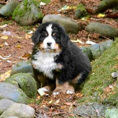 Bernese Mountain Dog. Another breed I'm considering.