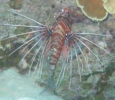 Spikey fins of lionfish