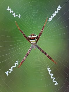 Multi-Coloured St Andrew's Cross Spider, Argiope versicolor (Doleschall) 1859