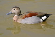 Hey, I have a pre-sale offer for a pair of Ringed Teal Ducks at http://www.frankstrade.com