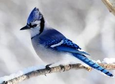 Bluejay in snow by Makia55