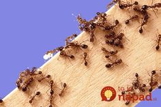 In the port of Tokyo have found one of the most dangerous species of ants Summer House Garden, Home And Garden, Kill Fire Ants, Ant Problem, Types Of Fire, Small Farm, Cool Plants, Pest Control, Outdoor Gardens
