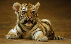 tiger baby II by ariseandrejoice Save The Tiger, Tiger Love, Tiger Tiger, Tiger Cubs, Bear Cubs, Bengal Tiger, Tiger Pictures, Animal Pictures, Pumas