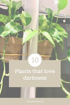 Click and learn about your favourite plant and dark spaces. Planters, Survival, Spaces, Canning, Dark, Lily, Plant, Window Boxes, Home Canning