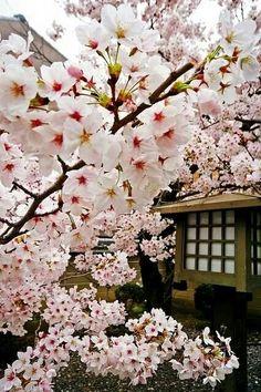 - Blossom - Flower of Light - Obstgarten Sakura Cherry Blossom, Cherry Blossoms, Japan Sakura, Flower Phone Wallpaper, Art Japonais, Blossom Trees, Blossom Flower, Cherry Tree, Medicinal Plants