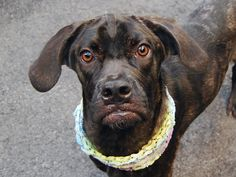**SAFE 7/31  RESCUE DOGS ROCK NYC**  EVA - A1081642 - Manhattan - Adoptable DIES 7/31/16  The huge and mesmerizing golden Cane Corso eyes are the first thing one sees looking at Eva…Not that the rest of her is not worth noticing… Her thin and spindly body wrapped in a shiny dark brindle dress. Her cute underbite. Her tiny stump of a tail and her flapping ears..Eva almost looks unreal…She is just a puppy, though… Shy in her kennel(Eva is hesitant to be leashed), very timid(although not agg...