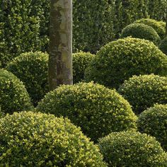 Buy box-leaved holly - ball Ilex crenata 'Dark Green = 'Icoprins11' (PBR)': Delivery by Crocus
