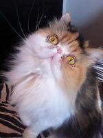 Persian Champion Female Calico Cat.