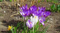 Spring crocuses flowers — Stock Video © Olgart #98242726