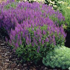 Salvia nemorosa mainacht may night - 1 plant Rockery Garden, Garden Plants, Garden Beds, Tall Flowers, Purple Flowers, May Night Salvia, June Flower, Organic Compost, Gardens