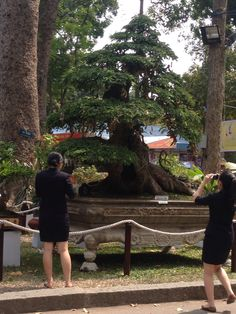 Over 100 year old tamarind tree worth thousands of dollars Ho Chi Minh city Vietnam