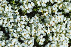 Bloom Photograph - Blooming White Flowers Saxifrage Spring by Sergey Nosov #SergeyNosov #Photography #ArtForHome #FineArtPrints #InteriorDesign #Blooming #Saxifrage #Spring