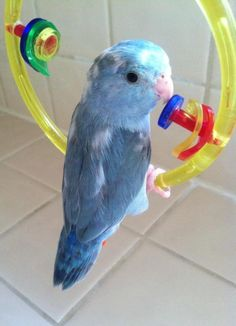 A baby picture of my Blue Pied Pacific Parrotlet Monroe