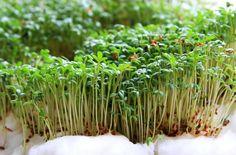 Rzeżucha - kalorie, wartości odżywcze i ciekawostki Seed Germination, Seeds, Health, Fitness, Food, Health Care, Essen, Meals, Yemek