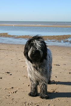 Drikus de Does , 10 maanden (Dutch Sheepdog, 10 months)
