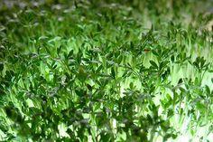 planta nasturel are beneficii nemaivazute Parsley, Orice, Herbs, Healthy Recipes, Landscape, Flowers, Peridots, Gluten, Gardening