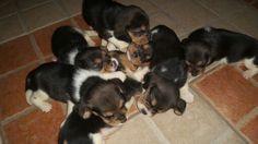 Beagles ♥