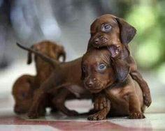 Cute doxie puppies... #Dachshund #DoxieDarlin' #Doxie
