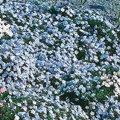 Blue Creeping Phlox Informations About Blue Carpet Phlox - Michigan Bulb Pin You can easily use my p Ground Cover Plants, Sun Plants, Summer Plants, Sun Garden, Lawn And Garden, Garden Gate, Herb Garden, Garden Plants, Gardens